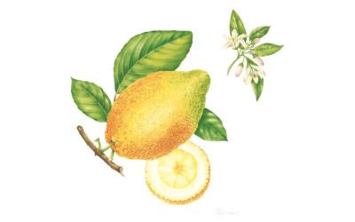 """<em>Citrus medica</em> L. <em>""""Aurantiata""""</em>"""