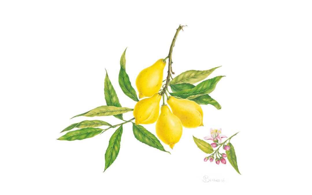 """<em>Citrus limon</em>  L.  <em>""""Salicifolia""""</em>"""