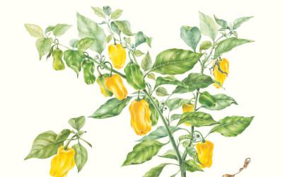 """<em>Capsicum chinense</em> L. """"Habanero"""""""