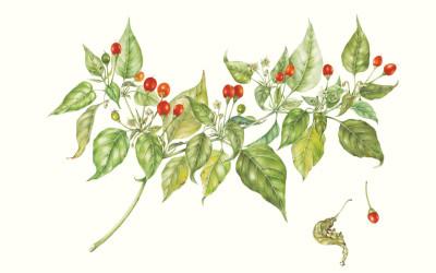 """<em>Capsicum baccatum</em> L.  """"Amarillar"""""""