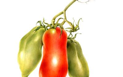 "Pomodoro cv. ""Cornuto delle Ande"
