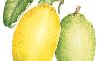 "<em>Citrus limon</em>  L. <em>Burmf.""Amalphitanum"" </em>"