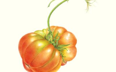 """Pomodoro cv.""""Costoluto genovese"""""""