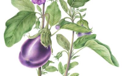 """<em>Solanum melongena </em>L. <em>Hybrid F1 """"Ophelia""""</em>"""