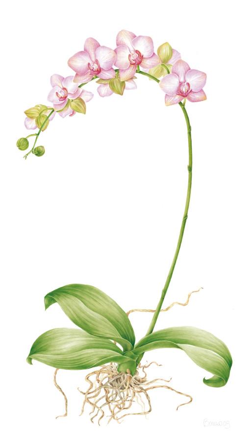Ibrido di <em>Phalaenopsis</em>