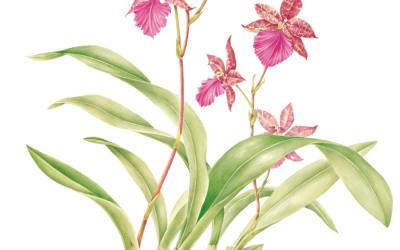 <em>Odontoglossum Violetta Von Holm </em>