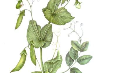 """<em>Pisum sativum</em>, L. pisello semi rampicante """"Utrillo"""""""