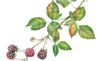 <em>Rubus fructicosus</em> L.