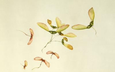 <em>Samare di Acer pseudoplatanus e Acer tataricum<em>