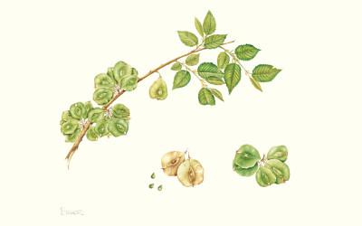 <em>Ulmus pumila</em> L.