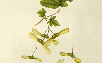 <em>Samare e foglie di Acer campestre</em>