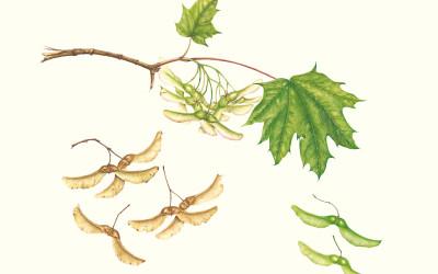 <em>Samare di Acer platanoides</em> L.